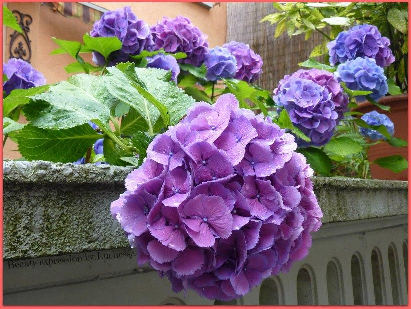 Blue purple Hydrangeas